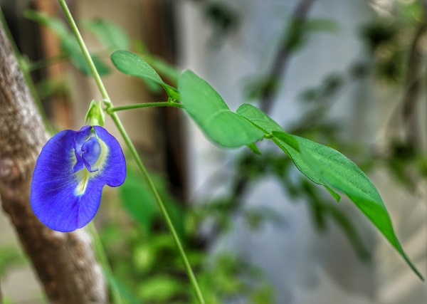 5 Fascinating health benefits of blue butterfly pea flower tea that you must know!!