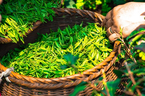 How Is Tea Made?? Let's Find out Its Great Method!!